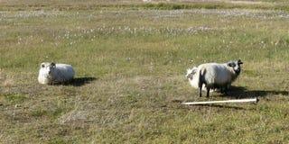 Familia típica de las ovejas de la familia de Islandia imagenes de archivo