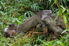 Familia verde de la iguana - iguana de la iguana Foto de archivo