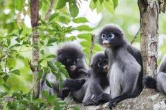 Familia y bebé oscuros del langur Fotos de archivo