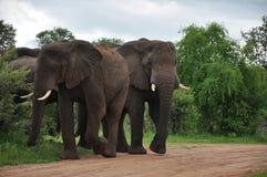 Familia Zimbabwe del elefante africano Fotografía de archivo libre de regalías