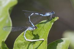 Familiar Bluet Damselflies Mating Stock Photos