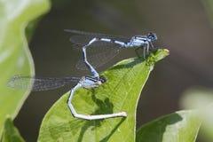 Familiar Bluet Damselflies Mating. Familiar Bluet Damselflies (Enallagma civile) Mating - Grand Bend, Ontario Stock Photos