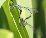 Familiar Bluet Damselflies Mating Stock Photo