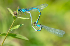 Familiar Bluet Damselfly Royalty Free Stock Photos
