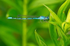 Familiar Bluet Damselfly - Enallagma civile. A male Familiar Bluet Damselfly clings to a leaf while chewing the remnants of a meal. The Portlands, Toronto royalty free stock image