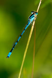 Familiar Bluet Damselfly Royalty Free Stock Images