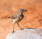 Familiar Chat. Sitting on a rock with an insect in its beak Stock Photos