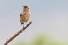 Familiar chat sitting on a branch with brown drab colours. Familiar chat sitting on a branch with brown and drab colours stock images