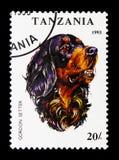 Familiaris di lupus di Gordon Setter Canis, serie dei cani, circa 1993 Fotografia Stock