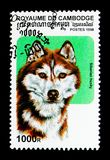 Familiaris di lupus di Husky Canis del siberiano, serie dei cani, circa 1998 Fotografie Stock