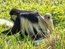Familie überzog guereza, Colobus guereza, mit einem Weiß farbigen Baby Lizenzfreie Stockfotos
