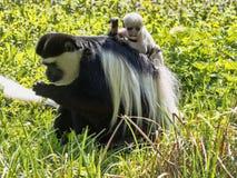 Familie überzog guereza, Colobus guereza, mit einem Weiß farbigen Baby Stockbilder