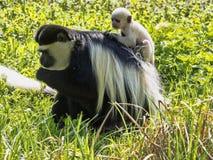 Familie überzog guereza, Colobus guereza, mit einem Weiß farbigen Baby Lizenzfreies Stockfoto