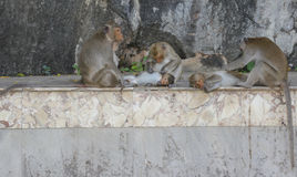 Familie Affe, der Flöhen und nach Zecken sucht Lizenzfreies Stockfoto