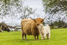 Familie auf der Wiese - schottisches Vieh und Kalb Stockfotos