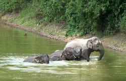 Familie der asiatischen badenden Elefanten Stockfotos