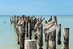 Familie der braunen Pelikane, die auf einem Pierpfosten stehen Stockfotografie