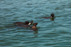 Familie der enormen Herde der Pelzrobbenschwimmens nahe dem Ufer von skele Stockfoto