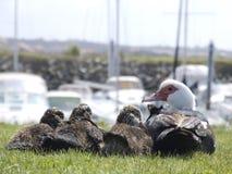 Familie der Ente schauend zu stockbild