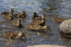 Familie der Enten Stockbild