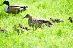 Familie der Enten Stockfotografie