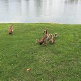 Familie der Enten Stockfotos