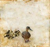 Familie der Enten auf einem Grunge Hintergrund Stockbild
