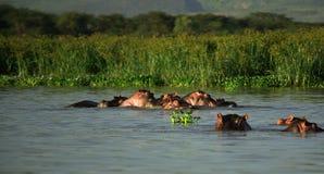 Familie der Flusspferde stockbilder
