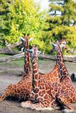Familie der Giraffen Lizenzfreie Stockbilder