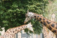 Familie der Giraffen Lizenzfreie Stockfotos