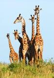 Familie der Giraffen Lizenzfreies Stockfoto