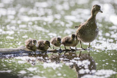 Familie der hölzernen Ente Lizenzfreie Stockfotos