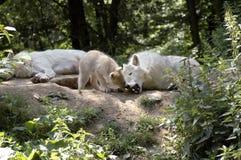 Familie der polaren Wölfe (Canis Lupus tundrorum). Stockbilder