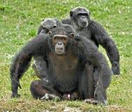 Familie der Schimpansen Lizenzfreie Stockbilder