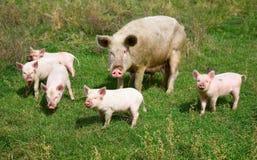 Familie der Schweine Lizenzfreies Stockfoto