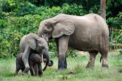 Familie der Waldelefanten. Stockfoto