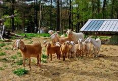 Familie der Ziegen Stockfotos