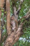 Familie des Affen auf Kho schellte Standpunkt Lizenzfreie Stockfotos