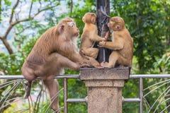 Familie des Affen auf Kho schellte Standpunkt Stockfotos