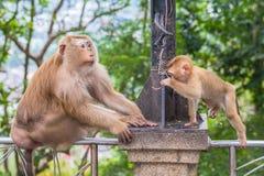 Familie des Affen auf Kho schellte Standpunkt Stockbild