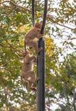 Familie des Affen auf Kho schellte Standpunkt Lizenzfreies Stockbild