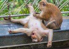 Familie des Affen auf Kho schellte Standpunkt Lizenzfreies Stockfoto