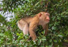 Familie des Affen auf Kho schellte Standpunkt Stockfoto
