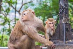 Familie des Affen auf Kho schellte Standpunkt Lizenzfreie Stockbilder