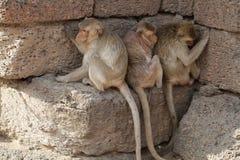 Familie des Affen sitzend auf versteckender Hitze des Steinziegelsteines vom Sonnenlicht im Sommer, offenes Tierbild der wild leb Lizenzfreie Stockbilder