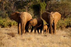 Familie des afrikanischen Elefanten Stockfotos