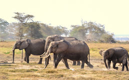 Familie des afrikanischen Elefanten lizenzfreies stockbild