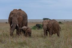 Familie des afrikanischen Elefanten auf den Wiesen Masai Maras, Kenia stockfotografie