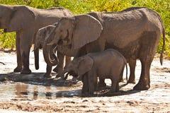 Familie des afrikanischen Elefanten, die #2 trinkt Stockbild