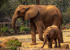 Familie des afrikanischen Elefanten in Korat-Zoo, Thailand Lizenzfreies Stockbild